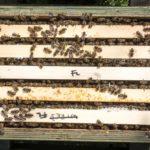 5 frame nuc colony