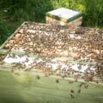Queenright queen rearing colony