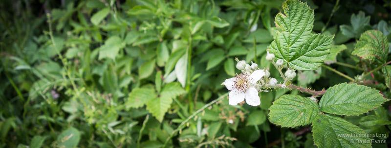 Bramble in flower