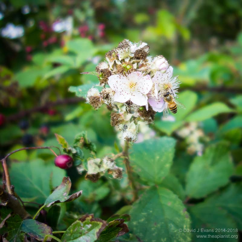 Late season bramble