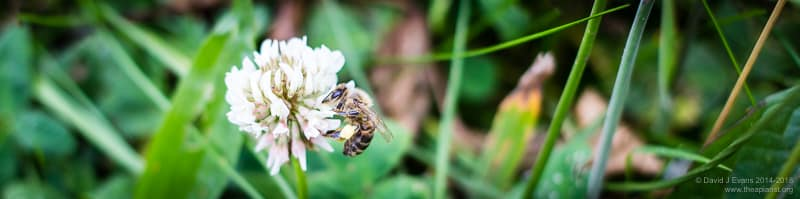 Honeybee working clover