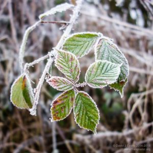 Cold brambles