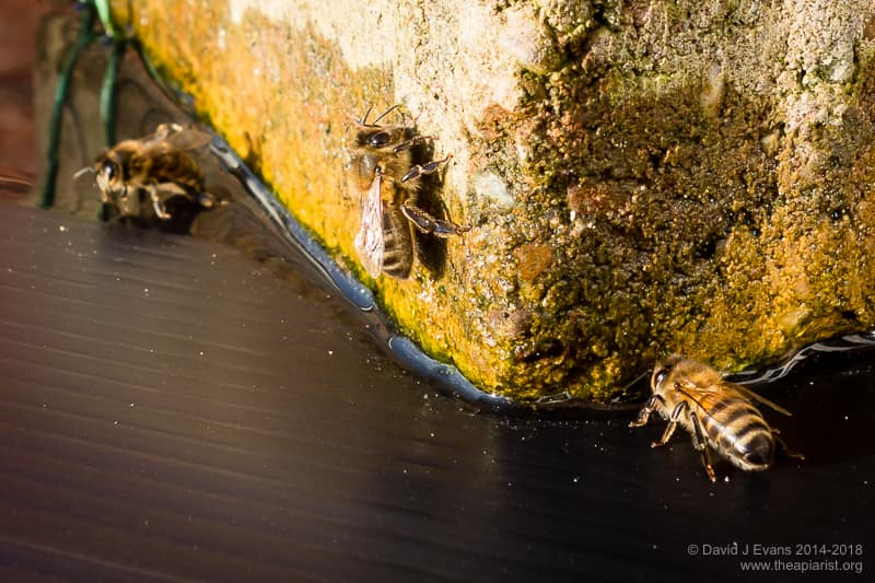 Winter 2015 image of bees drinking from a Correx roof puddle