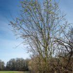 Apiary willows
