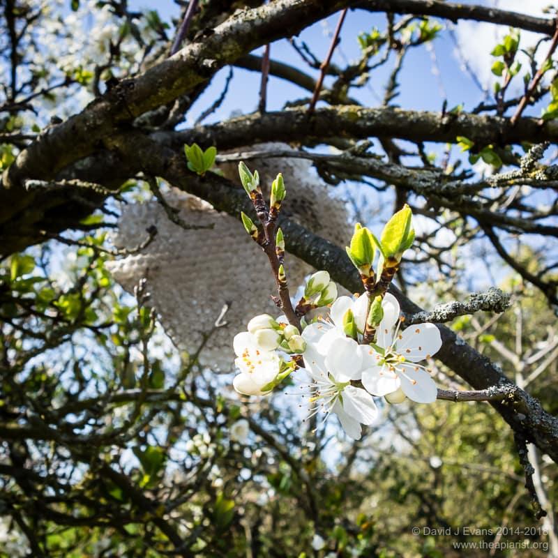 Apple blossom ...