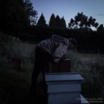 Late evening in the apiary