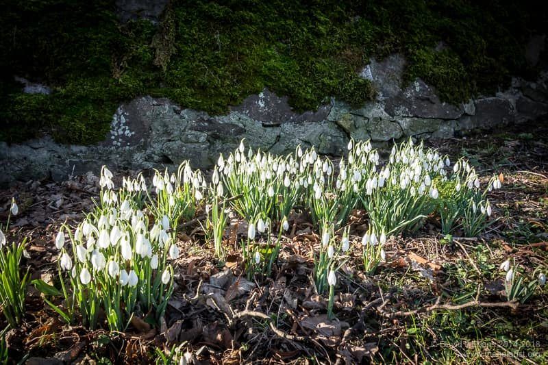Yet more snowdrops ...
