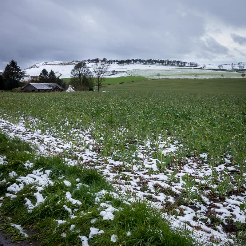 Oil seed rape (OSR) and snow in late April