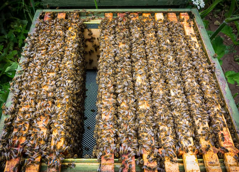 Lots of bees ...