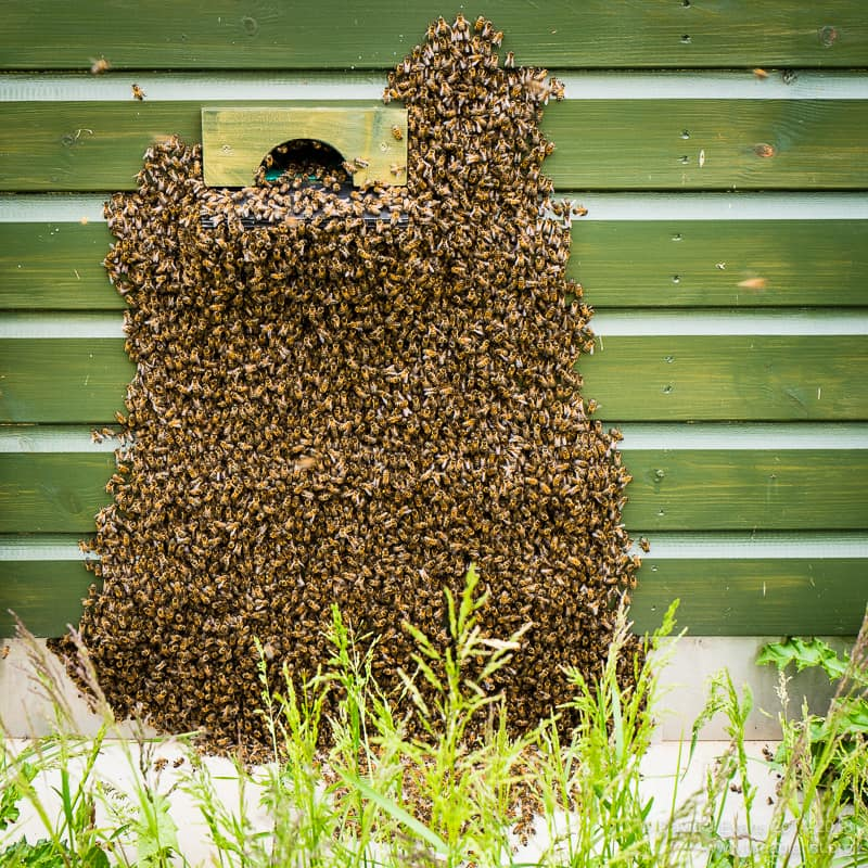 Clipped queen swarm