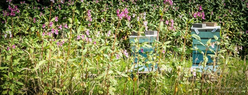 Two National hives and Himalayan balsam