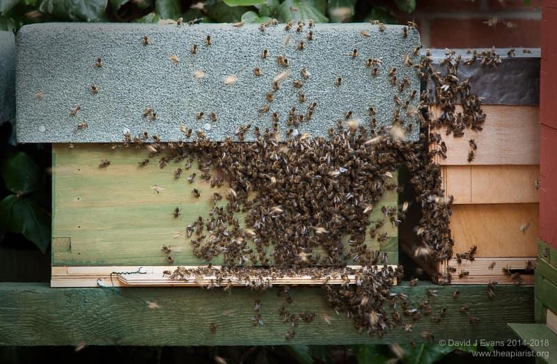 Swarm arriving at bait hive ...