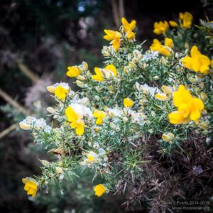 Late December gorse ...