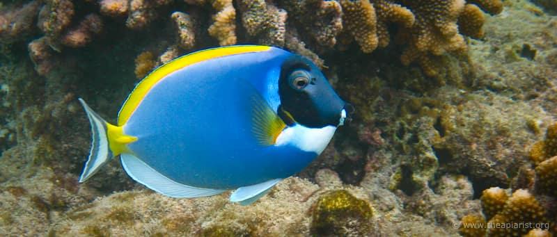 Powder blue surgeonfish, Maldives
