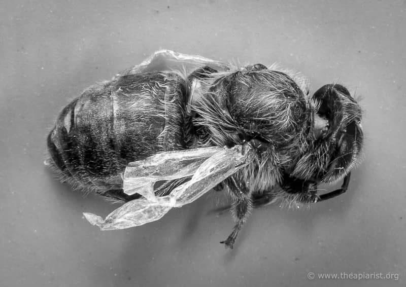 Worker bee with DWV symptoms