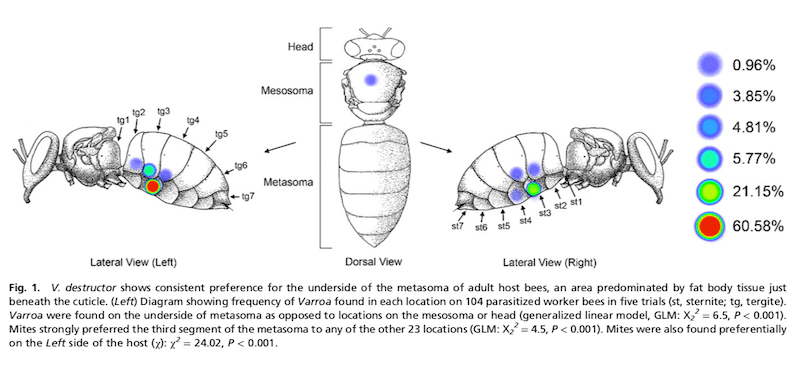 Mite location on nurse bees
