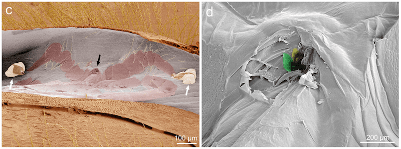 Varroa feeding location on adult bee