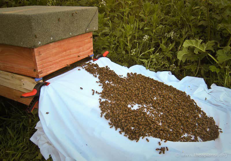 'Walking' a swarm into a hive