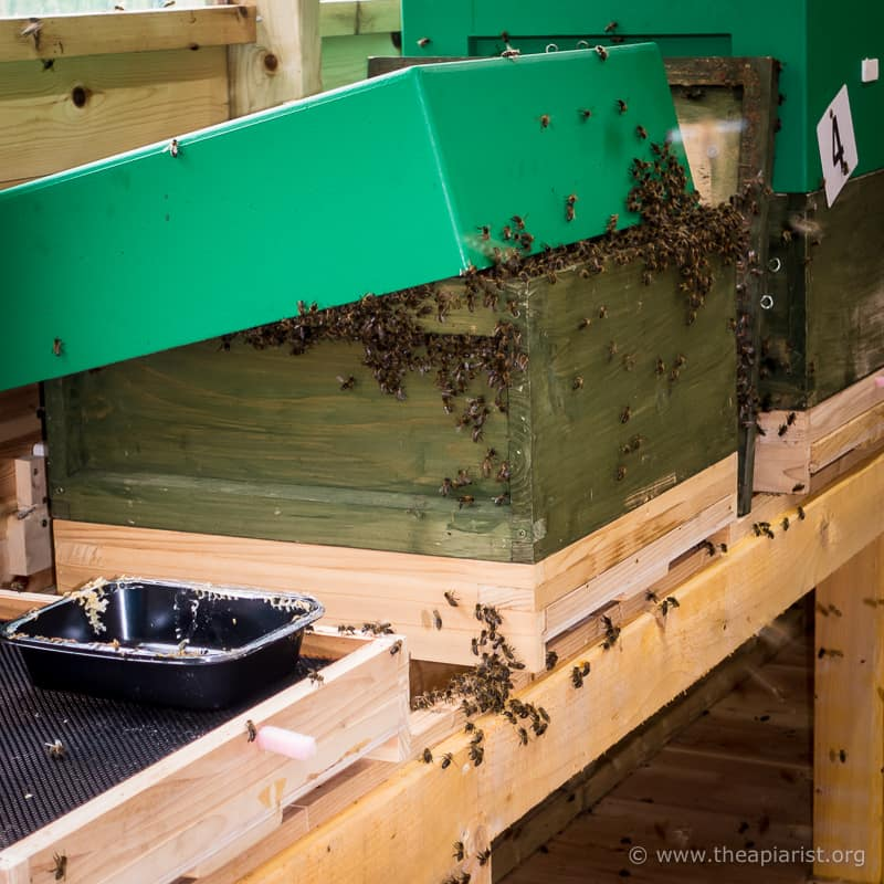 Hived swarm in the bee shed