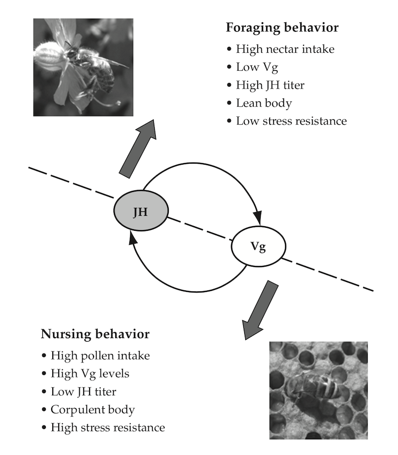 Behavioural maturation in worker bees