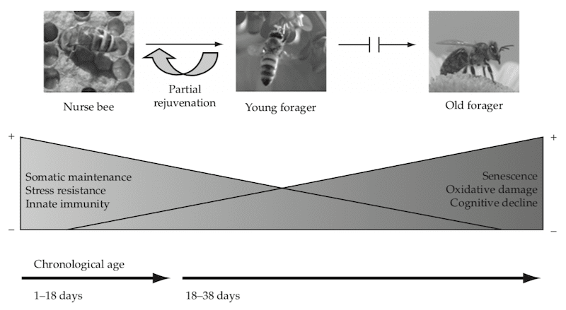 Reversible maturation in worker bees