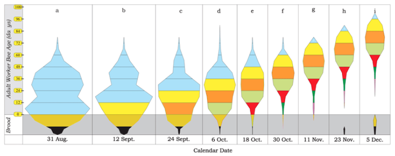 Colony age structure from August to December - see text for details
